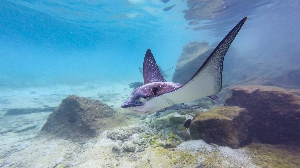 鷂鱝(eagle ray)是像鷹一般的魟魚。照片來源:VaqueroFrancis(CC BY-NC-ND 2.0)