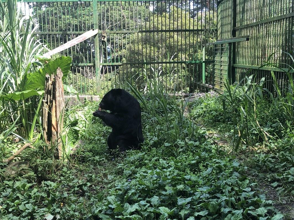 身材渾圓的小黑妞,是熊界美女,迷倒眾生。攝影:廖靜蕙