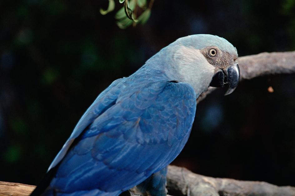 十年間有八種鳥類幾乎滅絕,包括《里約大冒險》的「阿藍」