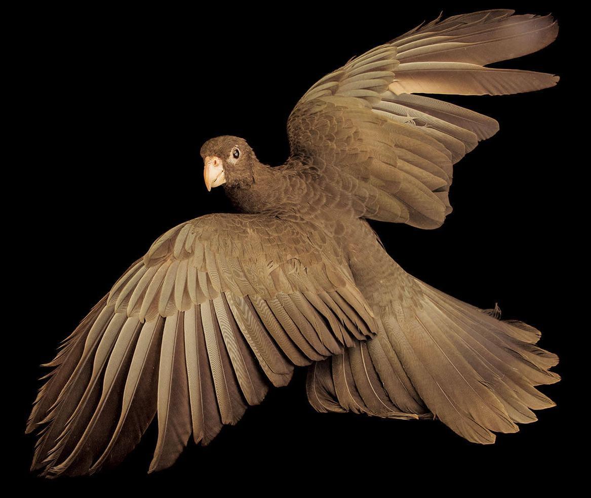 深色羽毛的馬島鸚鵡擁有多采多姿的愛情生活:雌鳥會追求雄鳥,並與好幾隻雄鳥交配。這種馬達加斯加原生種鸚鵡的行為,可能是因為食物資源匱乏而演化出來的,因為雄鳥擇偶時會餵雌鳥吃東西。 攝於西班牙加納利群島的鸚鵡公園基金會