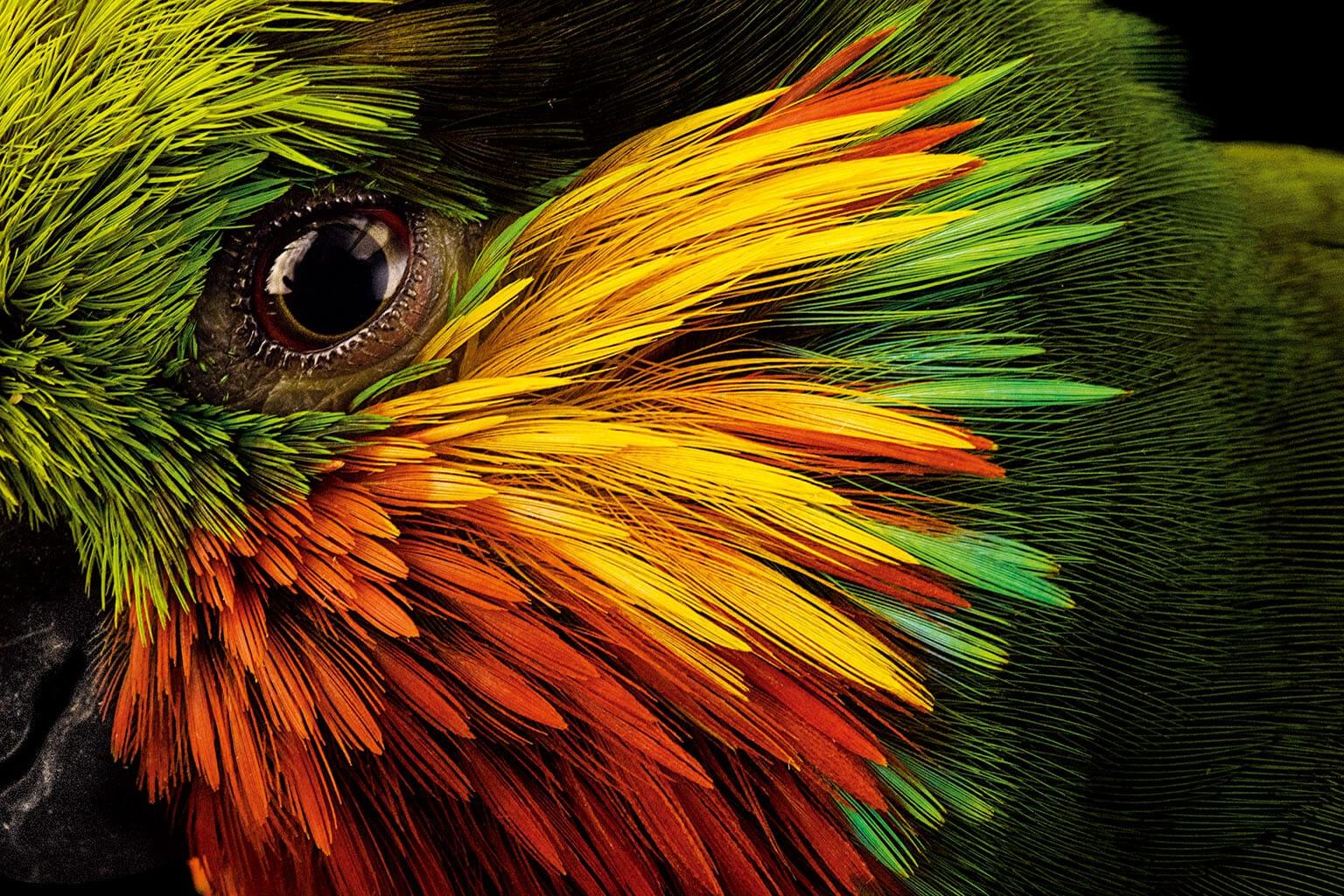 愛德華無花果鸚鵡眼睛周圍的羽色大膽鮮豔,這種鳥兒一如其名,會吃無花果( 還有其他果實、花蜜,可能也吃昆蟲)。這種引人注目的森林居民,也非常適應在印尼與巴布亞新幾內亞人類聚居地附近的生活。 攝於西班牙加納利群島的鸚鵡公園基金會