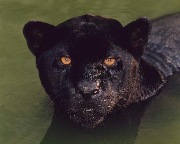 究竟什麼叫「黑豹」?