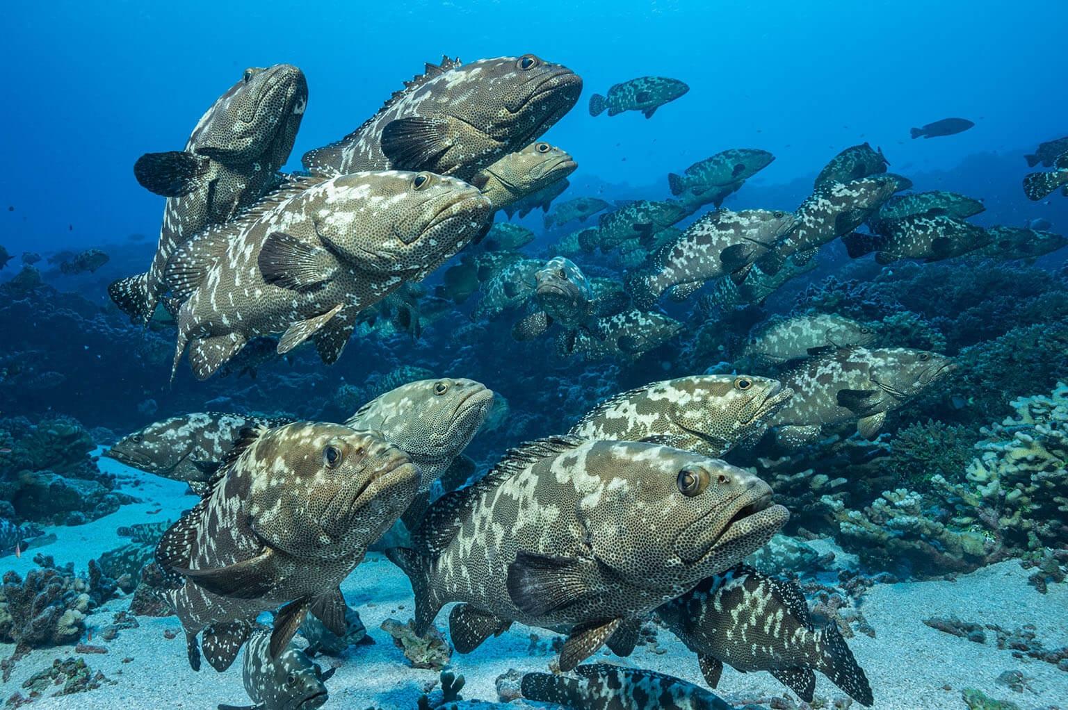鈍吻真鯊的主要獵物(至少在夏至左右)是聚集在水道裡產卵的1萬7000隻清水石斑魚。潮水會把受精卵帶到外海。