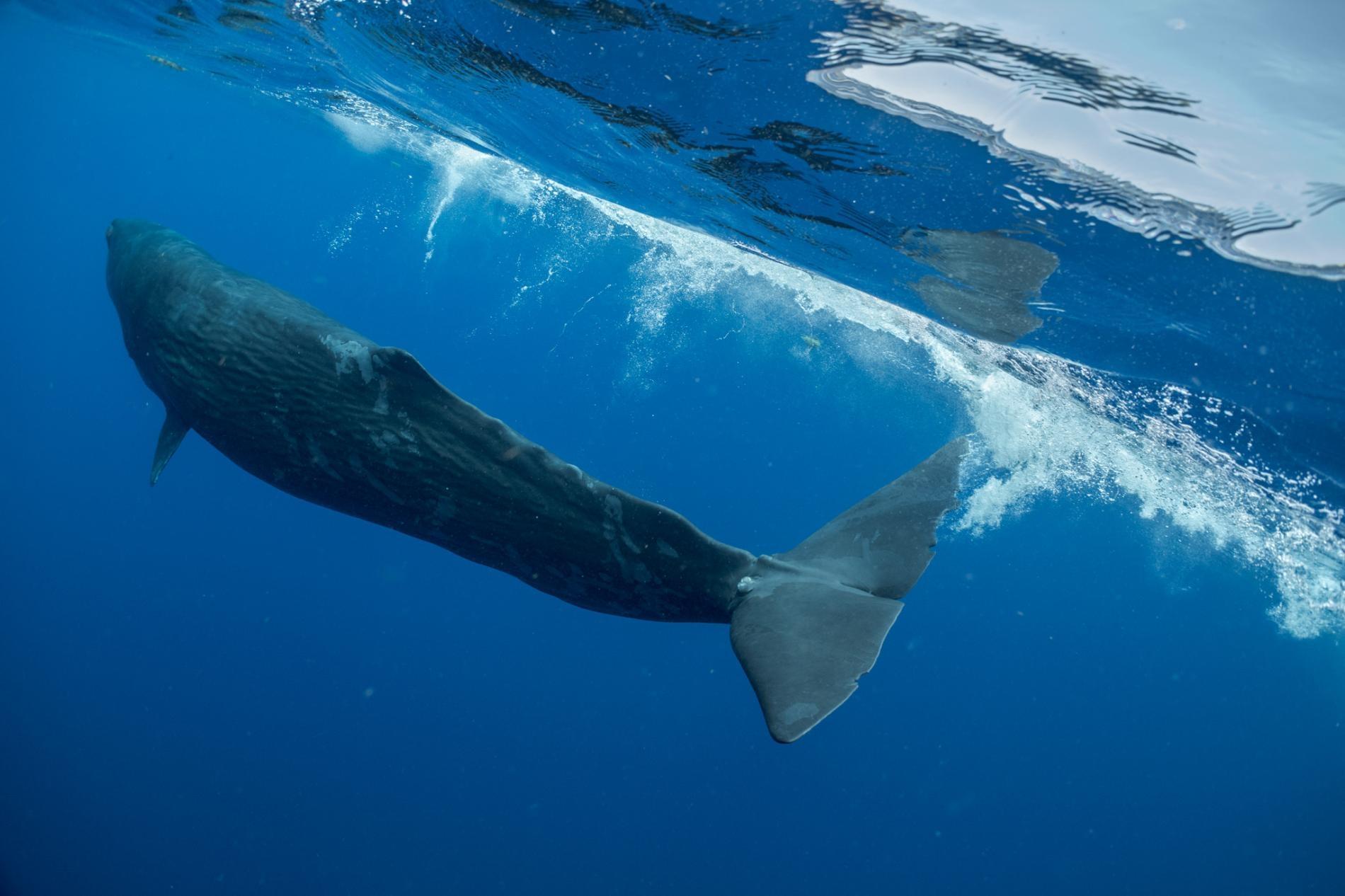 PHOTOGRAPH BY BRIAN SKERRY指頭(Digit)是一頭年輕的雌性抹香鯨,生活在加勒比海國家多米尼克附近。牠的尾鰭基部曾被一條致命的捕魚繩纏住三年,後來抹香鯨科學家謝恩.葛洛(Shane Gero)於2018年發現牠又能自在游泳。指頭的困境有助於激勵葛洛更努力工作,以確保人類與鯨魚和平共處。