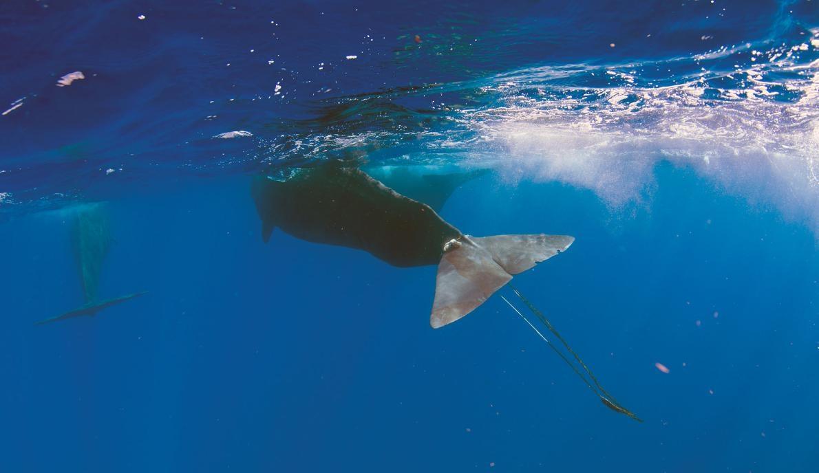 PHOTOGRAPH BY ARUN MADISETTI, IMAGES DOMINICA 指頭差點死於這場磨難。許多其他海洋哺乳類遇到海洋垃圾時都無法倖存下來。