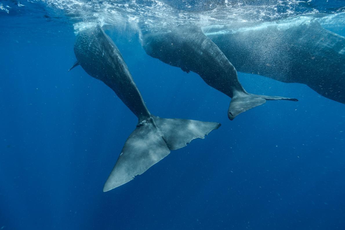 指頭(左)與幼鯨「開瓶器」(Corkscrew)、母鯨「開罐器」(Canopener)一起游泳。成鯨似乎常與研究人員玩耍,牠們游到研究人員的船旁,將一隻眼睛向上轉,注視著船裡的人。開罐器甚至會假裝潛水,在海面下等待,直到科學家將船開到牠最後出現的地方時,牠又會從水中冒出來。PHOTOGRAPH BY BRIAN SKERRY