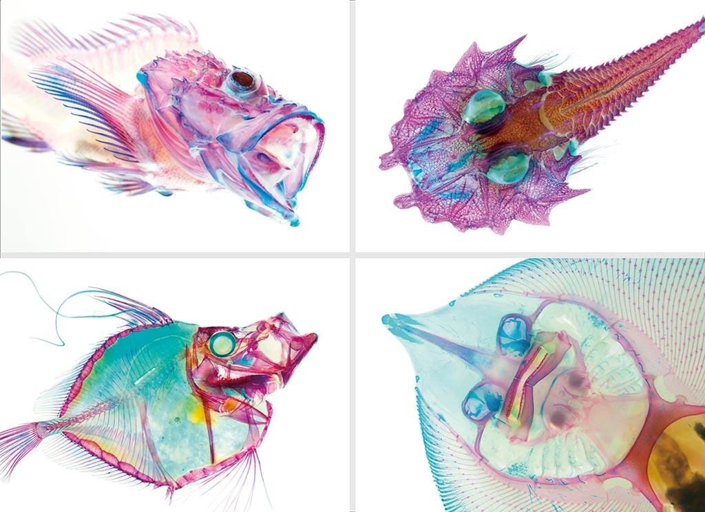 繽紛絢麗透明魚海生館標本特展