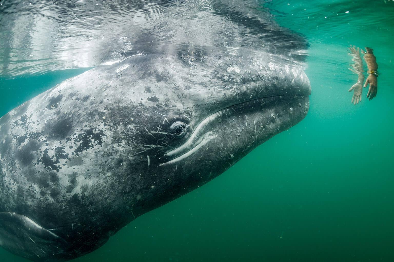 一名觀光客在聖伊納西歐潟湖的船上把手伸到水裡想撫摸灰鯨;這個海灣常有許多灰鯨前來交配和撫育後代。漁民曾經很懼怕牠們,但現在這種異常友善的動物是重要的經濟來源。 攝影:湯瑪斯.P.帕斯查克 Thomas P. Peschak