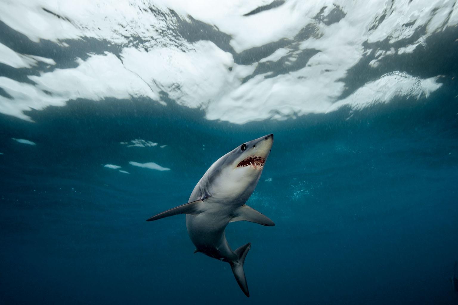 「有牙齒的魚雷。」攝影師布萊恩.史蓋瑞如此形容尖吻鯖鯊。「牠圓錐形的鼻子彷彿能刺穿海洋。」成熟的母鯊可達600公斤以上,但游速仍足以伏擊行動敏捷的黃鰭鮪。 攝影:布萊恩.史蓋瑞 Brian Skerry
