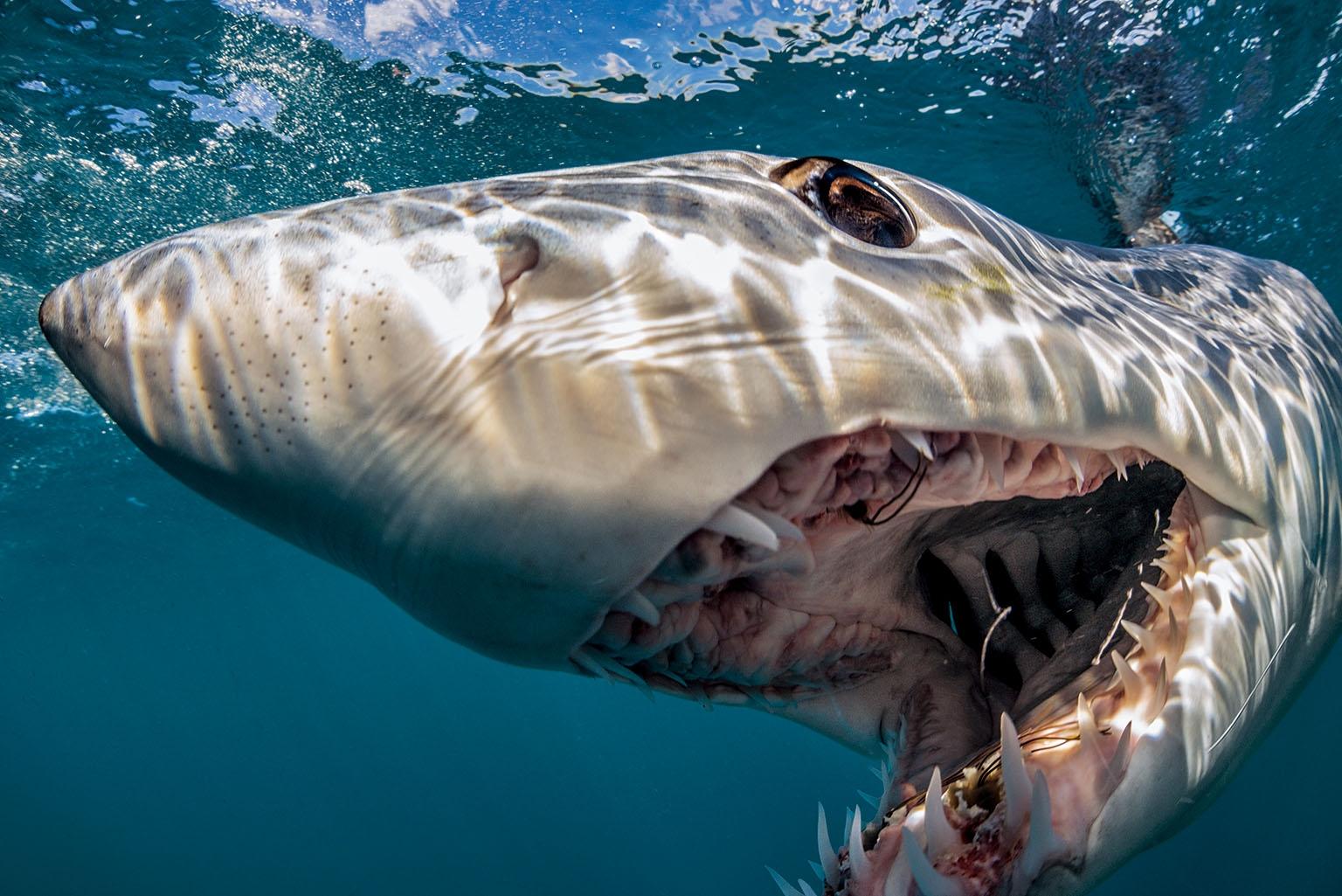 這隻尖吻鯖鯊在闖入其領域的人類面前快速游過,宣告自己在紐西蘭外海不容忽視的地位。 攝影:布萊恩.史蓋瑞 Brian Skerry