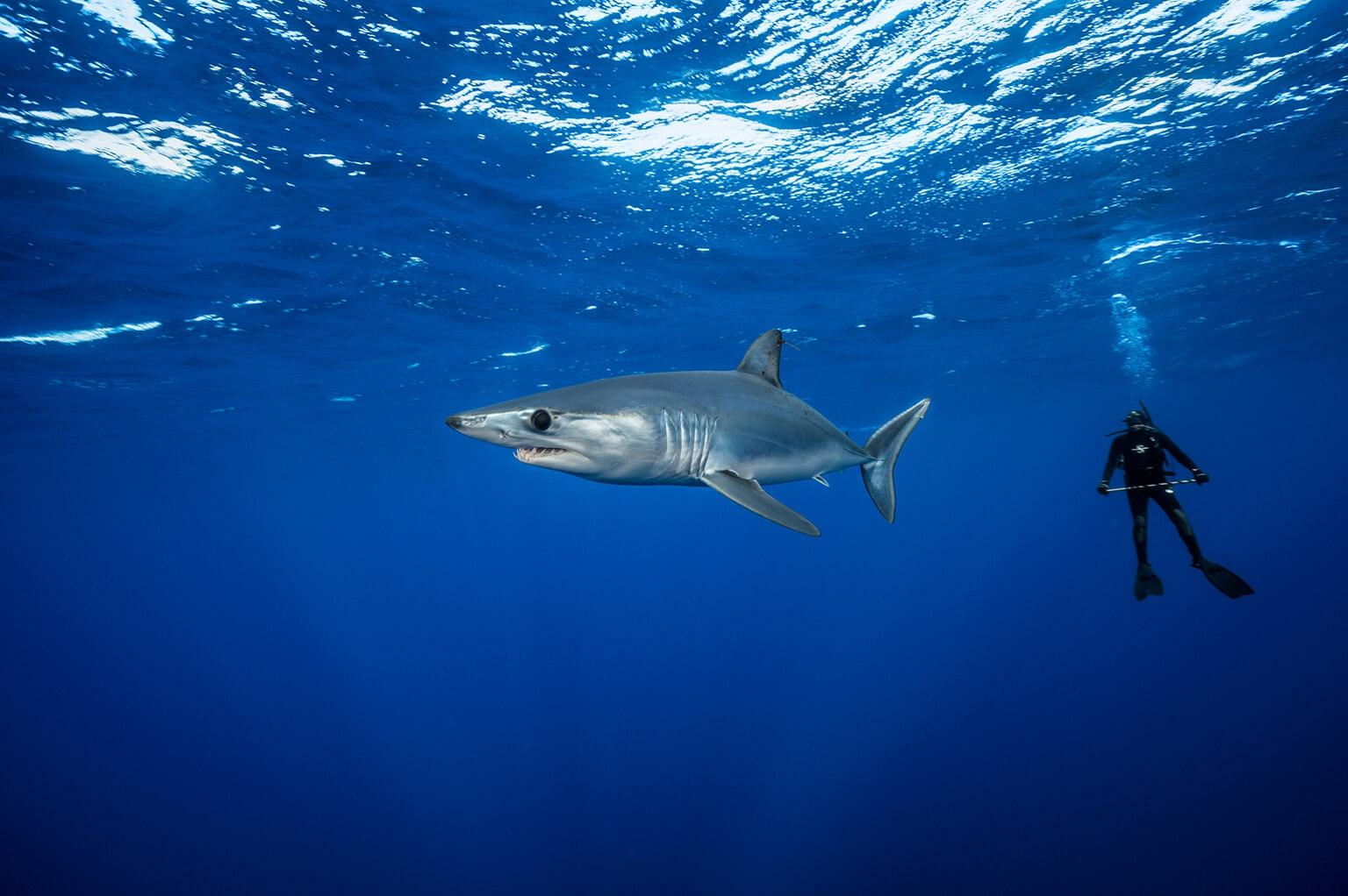 潛水員在聖地牙哥外海標放幼年的尖吻鯖鯊,研究者已知這片水域是鯊魚生產地。成熟母鯊約每三年產崽一次,最少可能只有四隻幼崽。 攝影:布萊恩.史蓋瑞 Brian Skerry