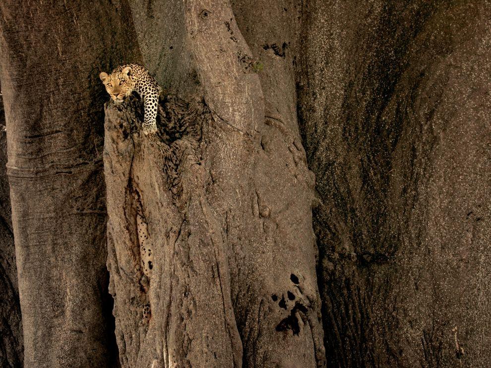奧卡凡哥三角洲:花豹