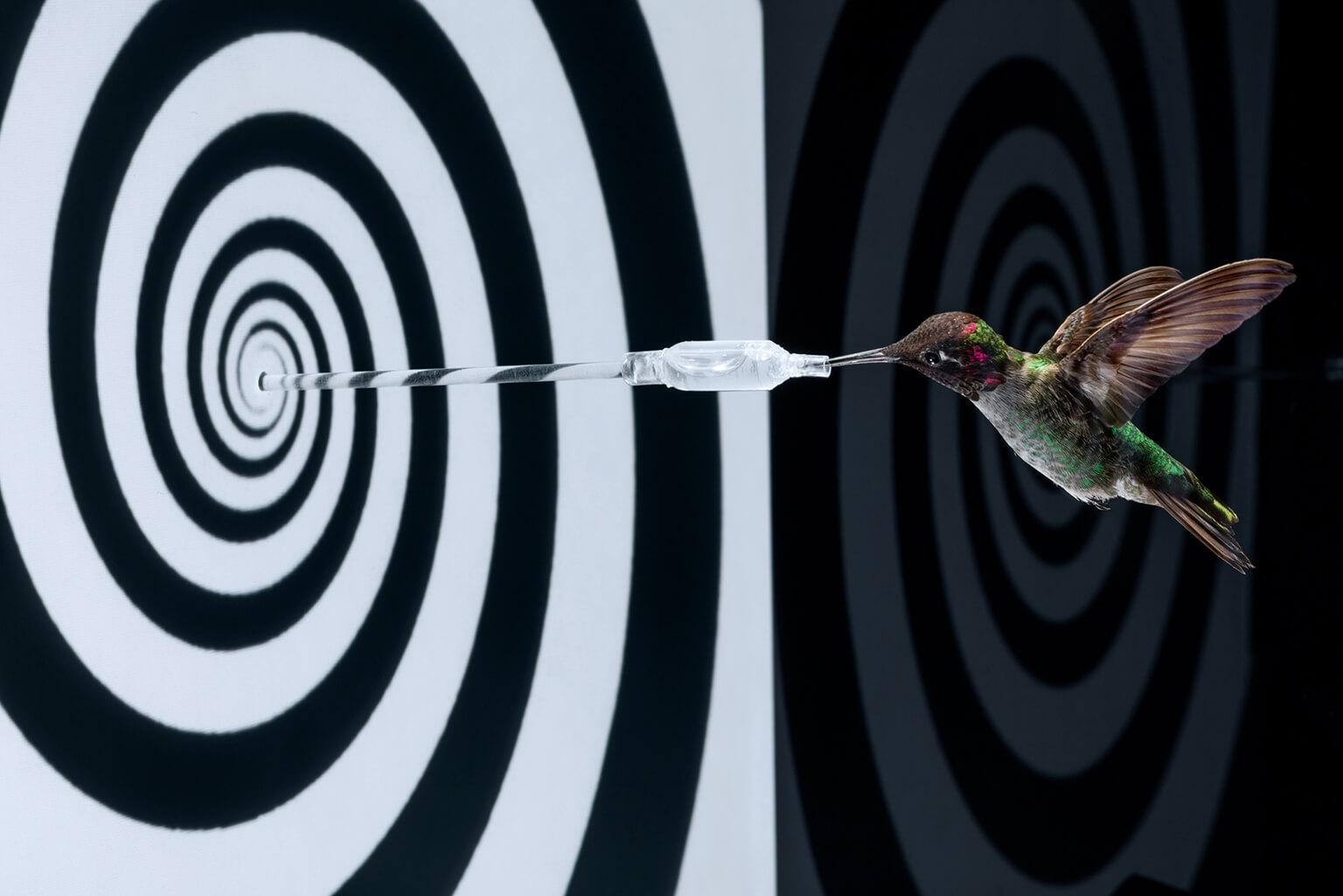 一隻人工飼養的朱紅蜂鳥在視錯覺圖像前方盤旋取食,這項實驗重現了蜂鳥飛行時相當仰賴視覺。當螺旋形圖像旋轉時,蜂鳥會產生向前移動的錯覺而切換成「倒車檔模式」並將鳥喙抽離餵食器。  攝影:亞南德.瓦瑪 Anand Varma