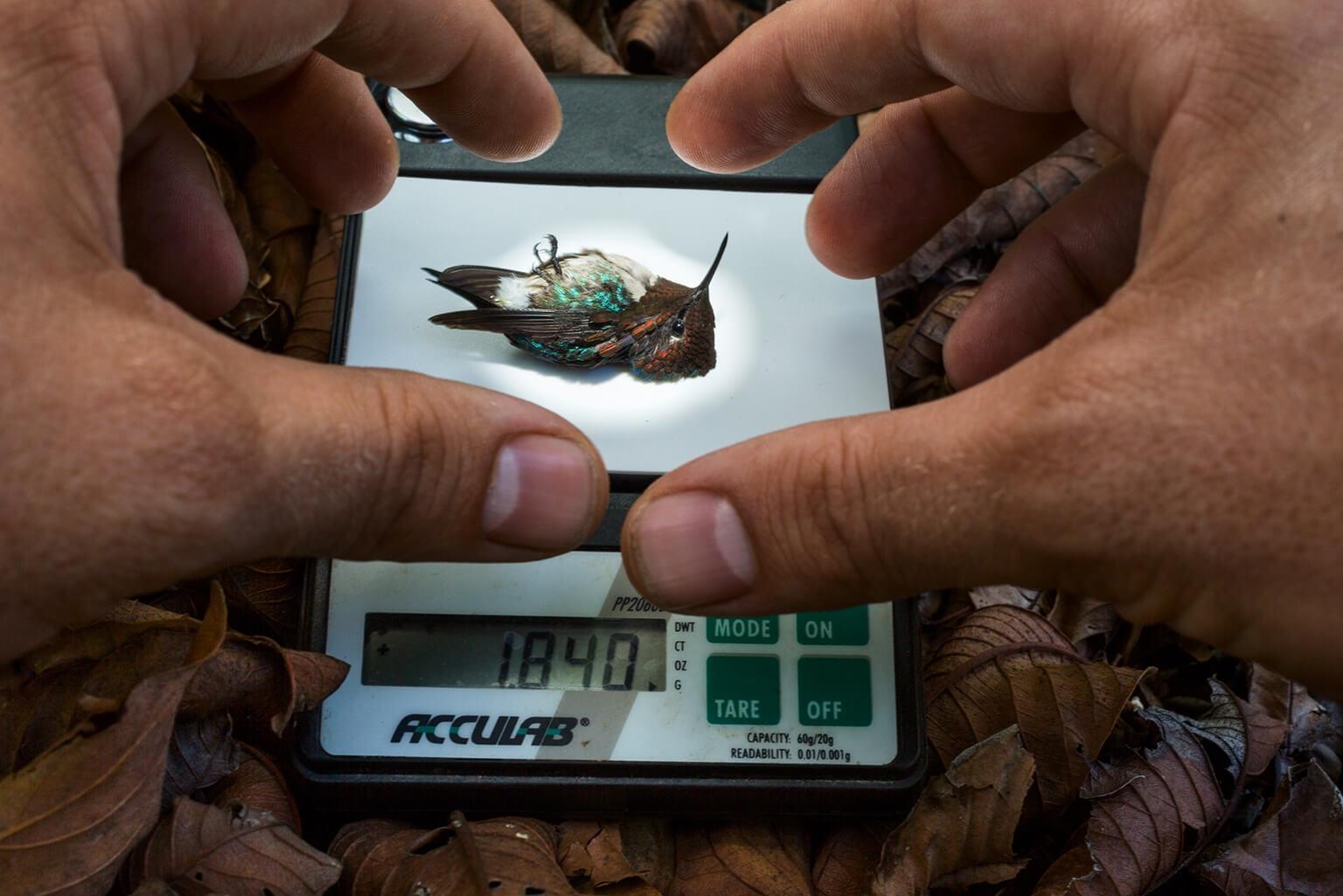 為了研究雄性古巴吸蜜蜂鳥的求偶行為,科學家捕捉了幾隻蜂鳥來測量體重與翅膀大小(上)。這隻在磅秤上的蜂鳥一動也不動是因為蜂鳥被翻過來以背部朝下時會暫時失向──不過一恢復立姿後不久又會活蹦亂跳。拍攝過程中沒有任何蜂鳥受傷。 SOURCE: CHRISTOPHER CLARK, UC RIVERSIDE  攝影:亞南德.瓦瑪 Anand Varma