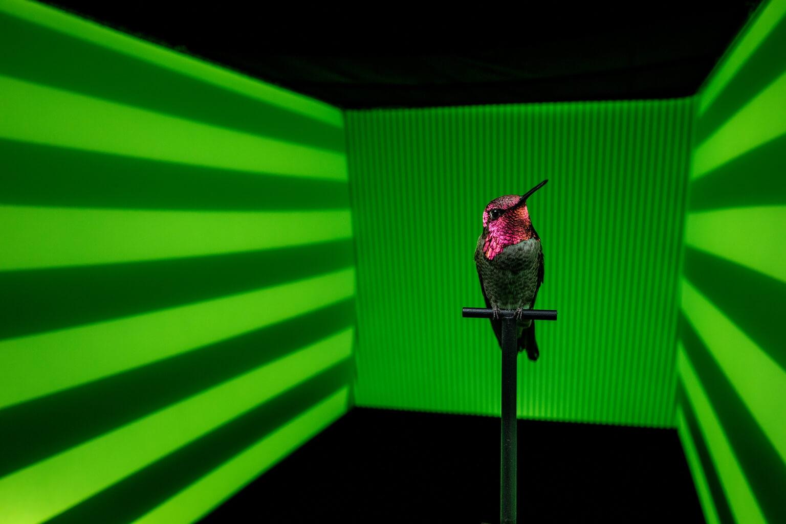 為了更加了解蜂鳥如何處理眼前變化的景象,溫哥華不列顛哥倫比亞大學的研究人員讓這隻朱紅蜂鳥在投影了不同圖案與顏色的通道中飛行,以追蹤蜂鳥的飛行軌跡與速度。一般認為,鳥類會留意眼前物體(像是圖中的橫紋)的高度以防在空中撞上。 SOURCES: ROSLYN DAKIN AND DOUG ALTSHULER  攝影:亞南德.瓦瑪 Anand Varma