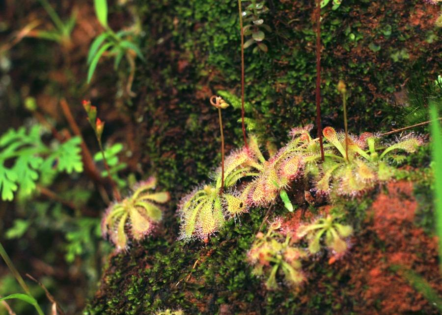 以蜜露為致命誘餌的肉食植物—小毛氈苔