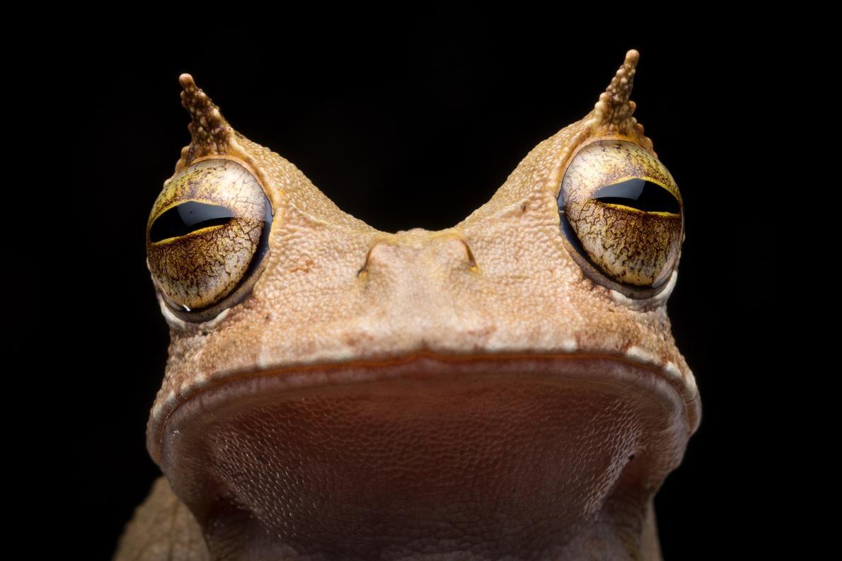 自2005年起,角囊蛙就未在厄瓜多被人發現,直到2018年為止。牠的角狀「眉毛」,以及利用身上的囊攜帶蛙卵使後代跳過蝌蚪階段的能力,都讓牠十分不尋常。PHOTOGRAPH BY SEBASTIAN DI DOMENICO, TROPICAL HERPING