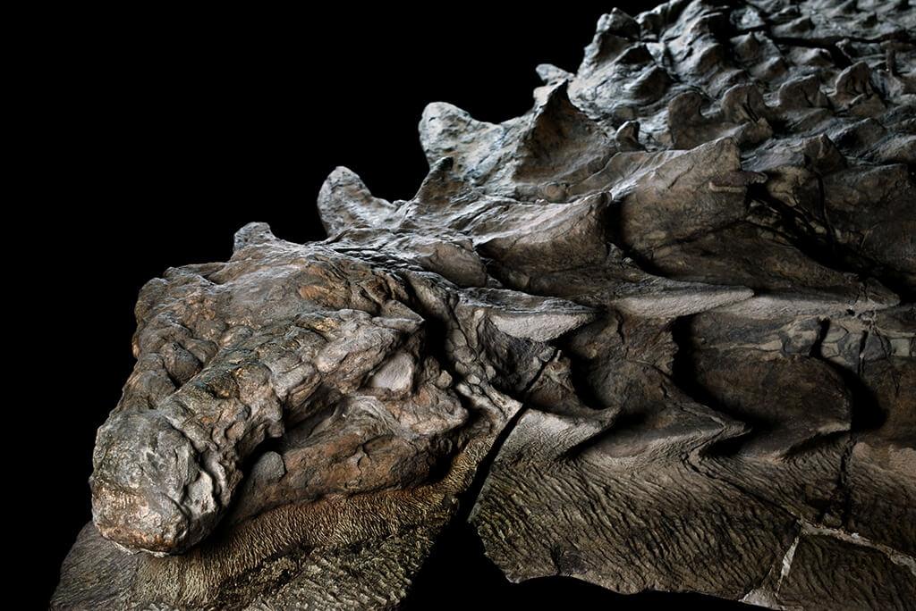 大約1億1000萬年前,這隻身上長有護甲的食草動物踩著沉重步伐、出沒於如今的加拿大西部,直到河水氾濫將牠沖入廣闊大海中。由於葬身海底,這隻恐龍的護甲被完整地保存下來,頭骨仍留著瓦片般的骨板,還帶著已成化石的灰銅綠色皮膚。 攝影:羅伯特.克拉克 Robert Clark