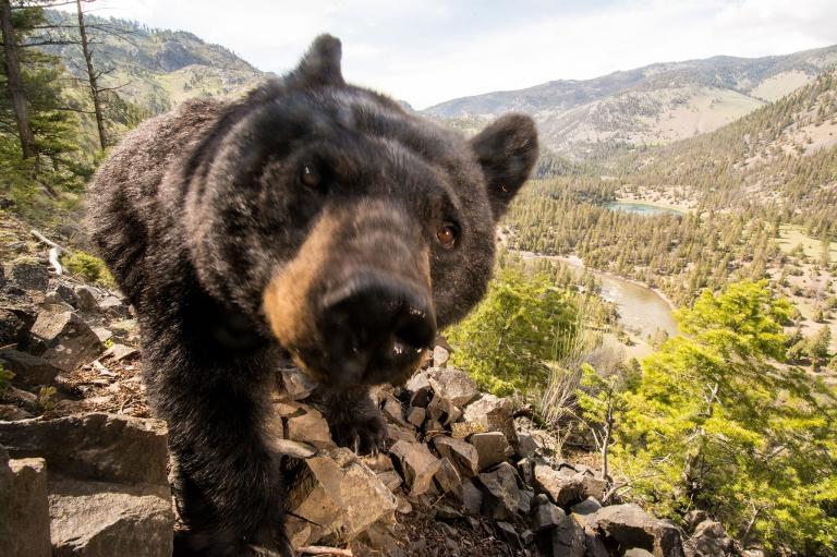 野外遇到熊出沒,裝死有用否?
