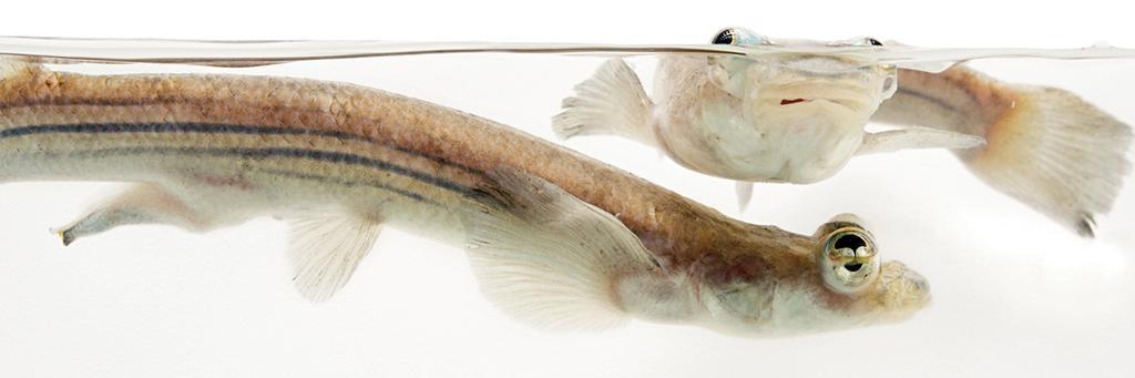 圖中的四眼魚雄魚(左)和雌魚,拍攝於俄克拉荷馬市立動物園。攝影: 喬.沙托瑞 JOEL SARTORE