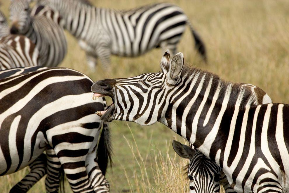 斑馬為什麼會有條紋?新研究認為跟溫度有關。
