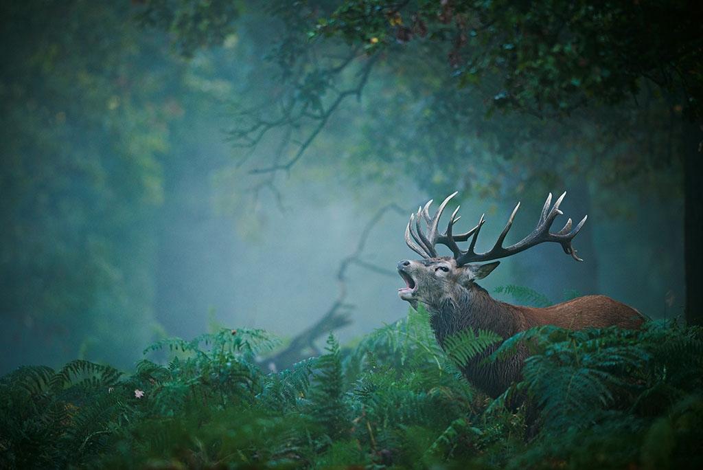 倫敦里奇蒙公園裡一個有霧的清晨,一隻公紅鹿在交配季節時發出低鳴。9月至11月間,成熟的公鹿會鳴叫並以鹿角揮打樹叢,藉此吸引母鹿並威嚇對手。PHOTO: FÉLIX MORLÁN GONZÁLEZ