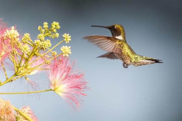科學家解祕 : 蜂鳥如何嚐到甜味