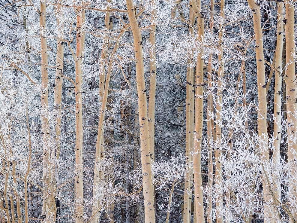 冬日風情畫:覆雪的顫楊
