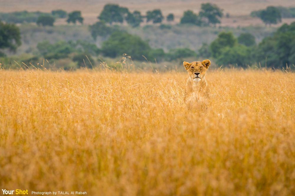 孤單的獅子