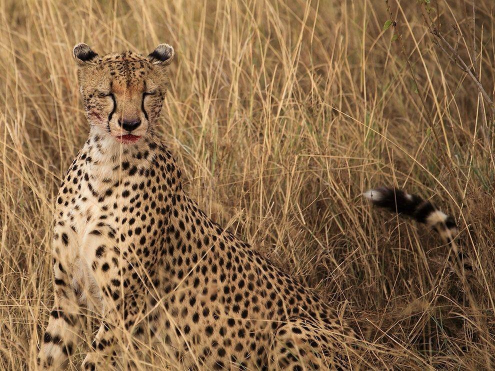 賽倫蓋蒂:獵豹