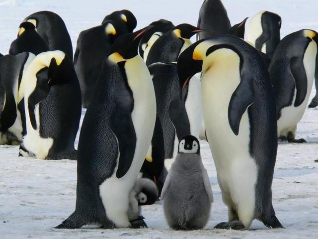 萌萌的企鵝也會捕食水母哦!圖片來源:Pixabay