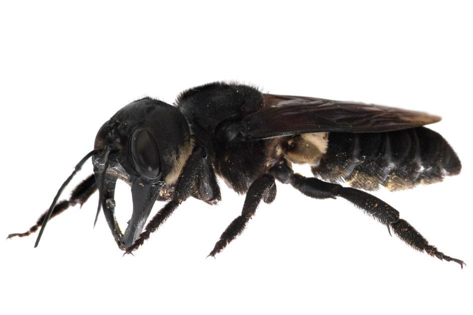 華萊士巨蜂具有6.3公分長的翼展與幾乎跟鍬形蟲一樣的大顎,牠們用大顎舀起樹脂並鋪在巢穴裡。PHOTOGRAPH BY CLAY BOLT