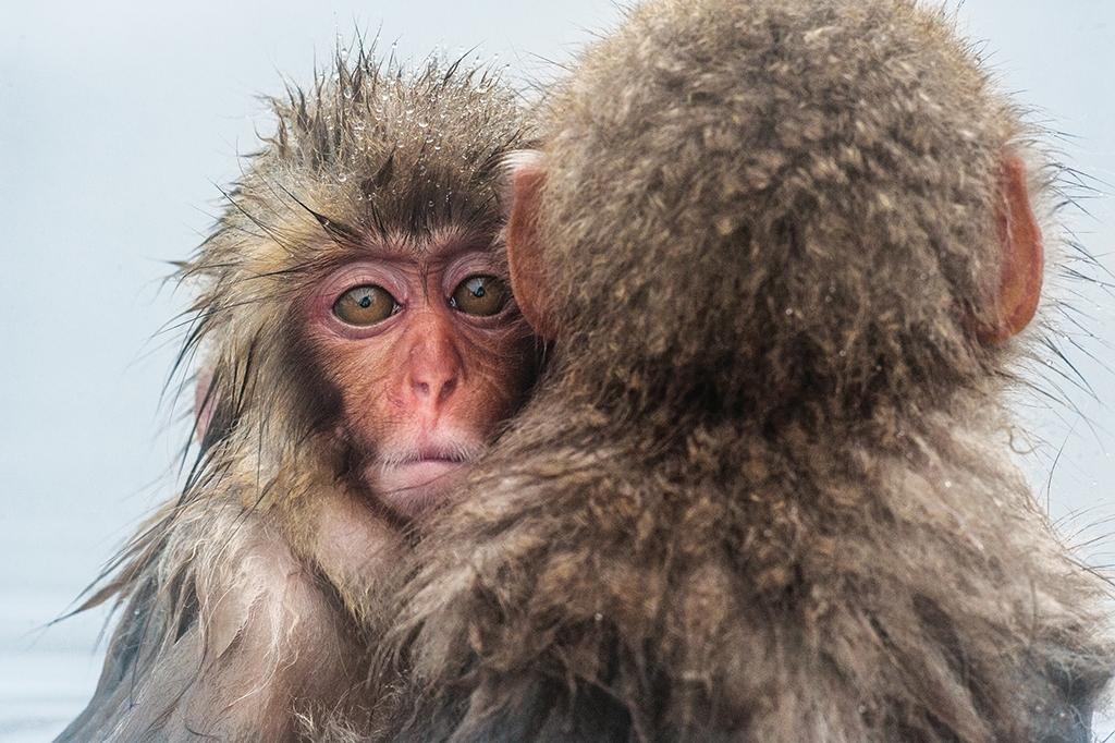 兩隻年輕的雪猴在寒冬中緊緊地依偎在一起取暖。這些聰明且高度社會化的動物,棲息在日本四座主要島嶼的其中三座。攝影: 賈斯伯.杜斯特 Jasper Doest