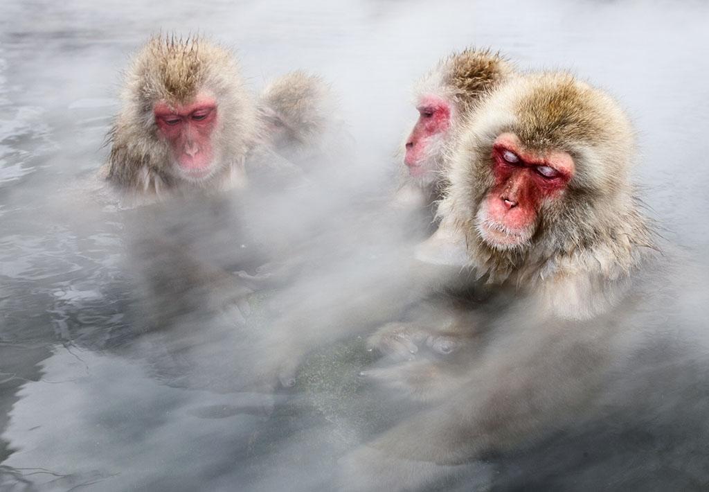 冬天時,日本獼猴在地獄谷裡泡熱水。這裡的氣溫在冰點以下,但水溫卻遠遠超過攝氏35度。泡在蒸氣裊裊的熱水裡,猴子經常舒服到睡著。攝影: 賈斯伯.杜斯特 Jasper Doest