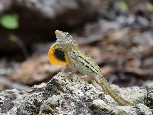 對面的「女孩」看過來—一展開喉囊撩妹的條紋安樂蜥(Anolis lineatus)圖片來源:Wikmedia Commons
