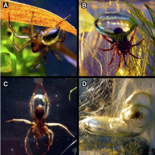 A是空氣附著在水蛛腹部的疏水絨毛上。B是一個小型氣泡室,由隱形網支撐著,大小足以容納水蛛的腹部。C是水蛛正把水面的氣泡運到氣泡室。D是雌性水蛛待在她的氣泡室中(圖片來自[2])