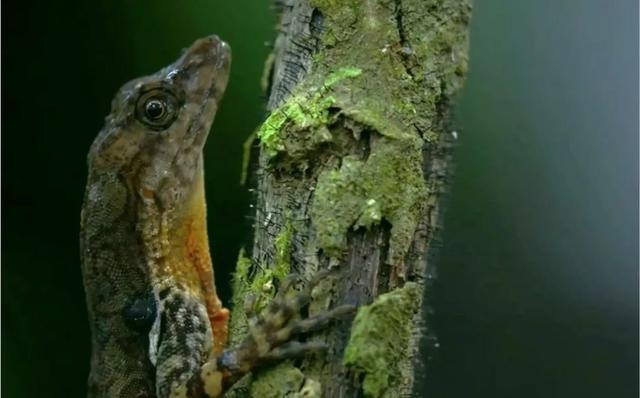 溪安樂蜥(Anolis oxylophus) 。圖片來源:Smithsonian- Channel