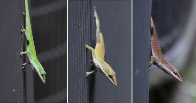 綠安樂蜥(Anolis carolinensis),既懂壁虎的爬牆功,又會變色龍的偽裝術。圖片來源:Wikmedia Commons