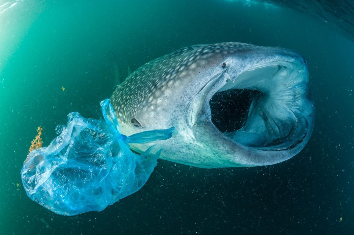 在葉門附近的亞丁灣,一條鯨鯊在塑膠袋旁游泳。雖然鯨鯊是海洋中最大的魚類,但仍然受到吞食塑膠碎片的威脅。 PHOTOGRAPH BY THOMAS P. PESCHAK, NAT GEO IMAGE COLLECTION
