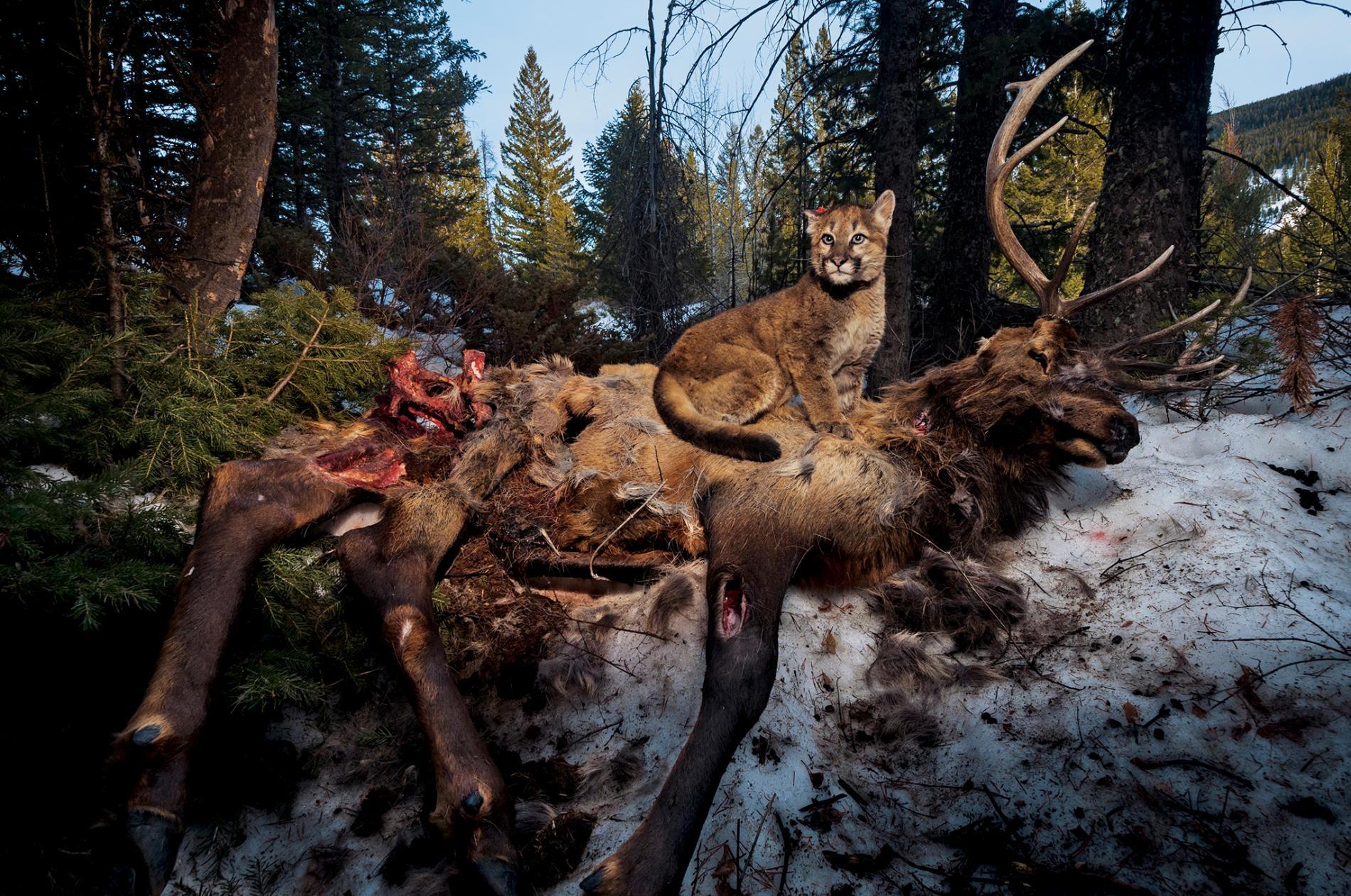 在黃石地區,一隻暱稱是「來福」(Lucky)的四月齡美洲獅(cougar)幼崽坐在一頭麋鹿(elk)的屍體上。PHOTOGRAPH BY STEVE WINTER, NAT GEO IMAGE COLLECTION