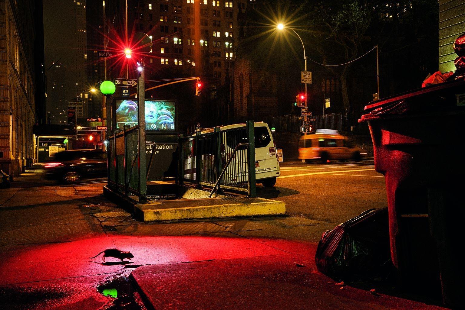 紐約市|好幾種老鼠因為適應力強又聰明,已經演化為能在大城市裡大量繁衍。不過,即使是最見怪不怪的都市居民,看到老鼠在西百老匯區奔竄的景象,還是會驚跳一下。儘管老鼠已經和人類共同生活了數千年,許多人還是覺得老鼠令人恐懼又反感。紐約的老鼠多為溝鼠,牠們的野生祖先生活在中國北部與蒙古,在1500年已在歐洲部分地區立足,然後在1750年代隨著歐洲人橫渡大西洋抵達美洲。攝影:查理.漢米爾頓.詹姆士