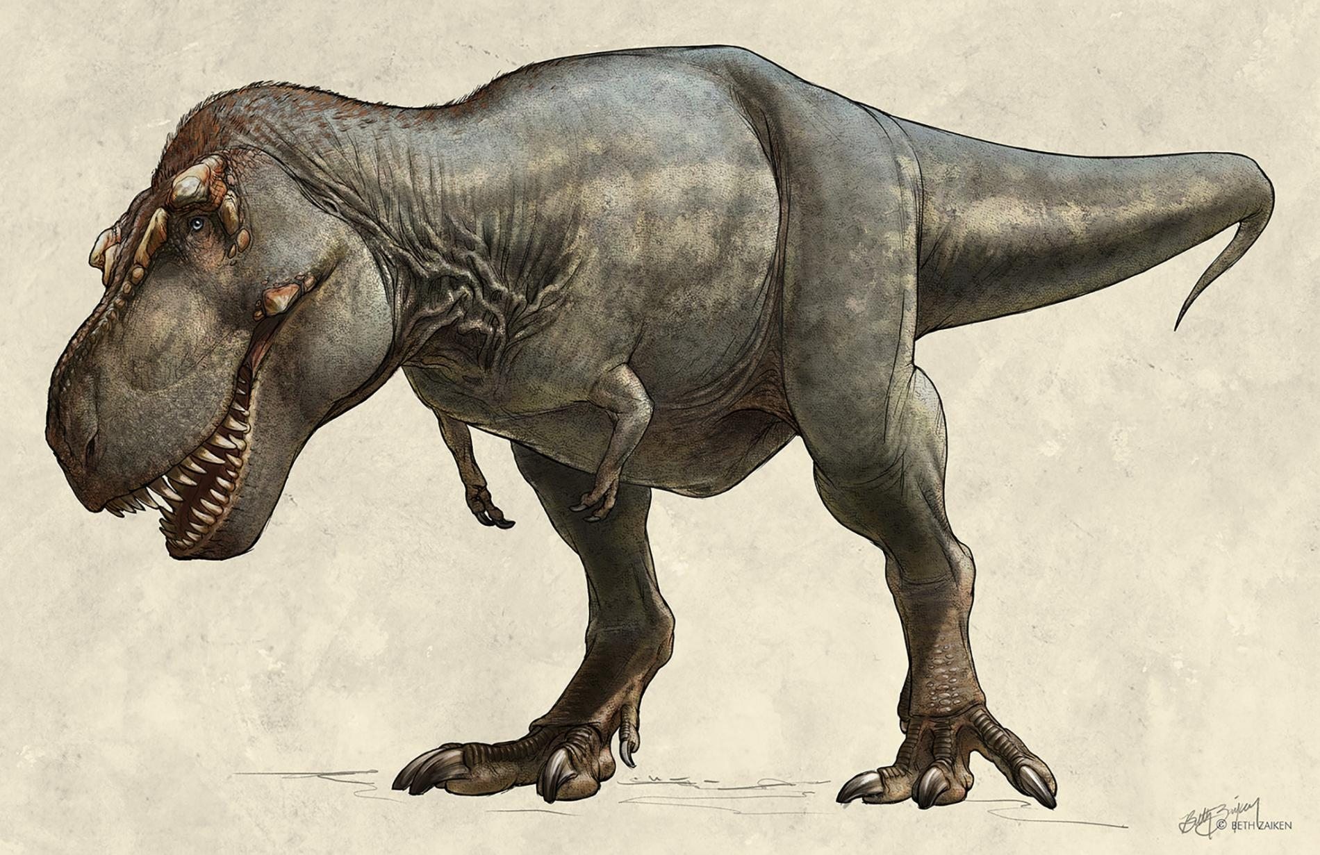 這隻1991年出土的霸王龍(Tyrannosaurus rex)標本又名「史寇提」(Scotty),牠在世時可能重達8,800公斤,是已知最大的霸王龍。 ILLUSTRATION BY BETH ZAIKEN, THE ROYAL SASKATCHEWAN MUSEUM