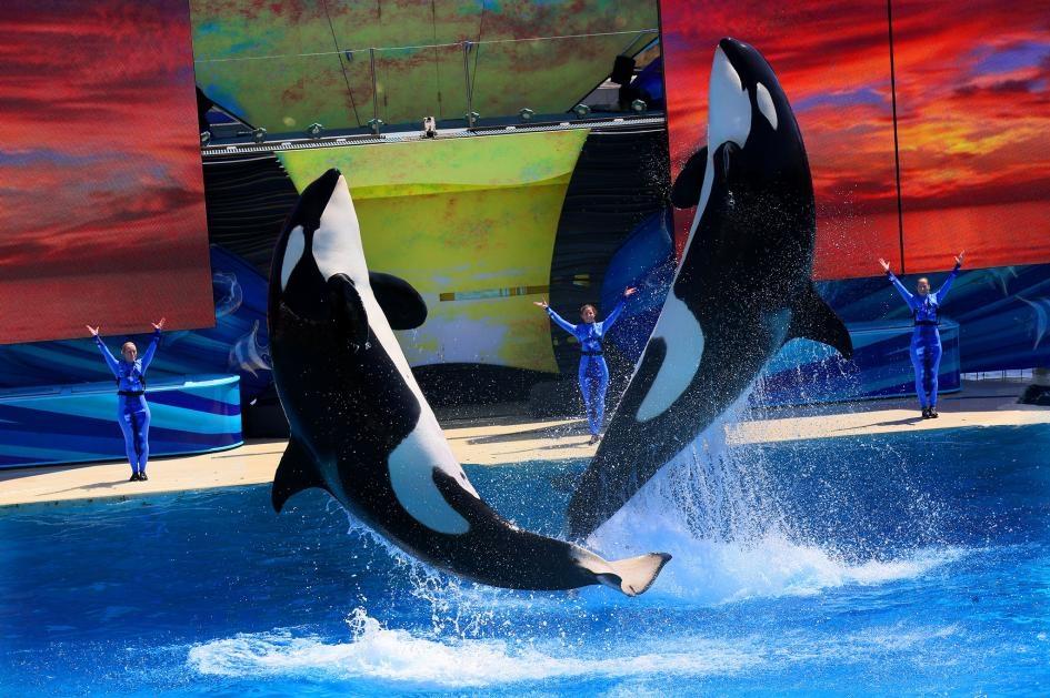 2014年,虎鯨在聖地牙哥海洋世界表演。這些哺乳動物非常聰明,在野外能游極長距離。數十年來,研究記錄了虎鯨在圈養環境下出現的壓力相關行為。PHOTOGRAPH BY SANDY HUFFAKER, CORBIS/GETTY