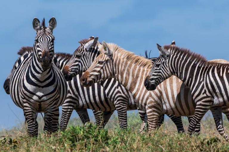 看來這隻外表特殊的斑馬已經被牠的同伴們所接受。斑馬大多以聲音和氣味互相辨認──專家表示一隻金色斑馬能夠正常地融入族群並不令人意外。PHOTOGRAPH BY SERGIO PITAMITZ