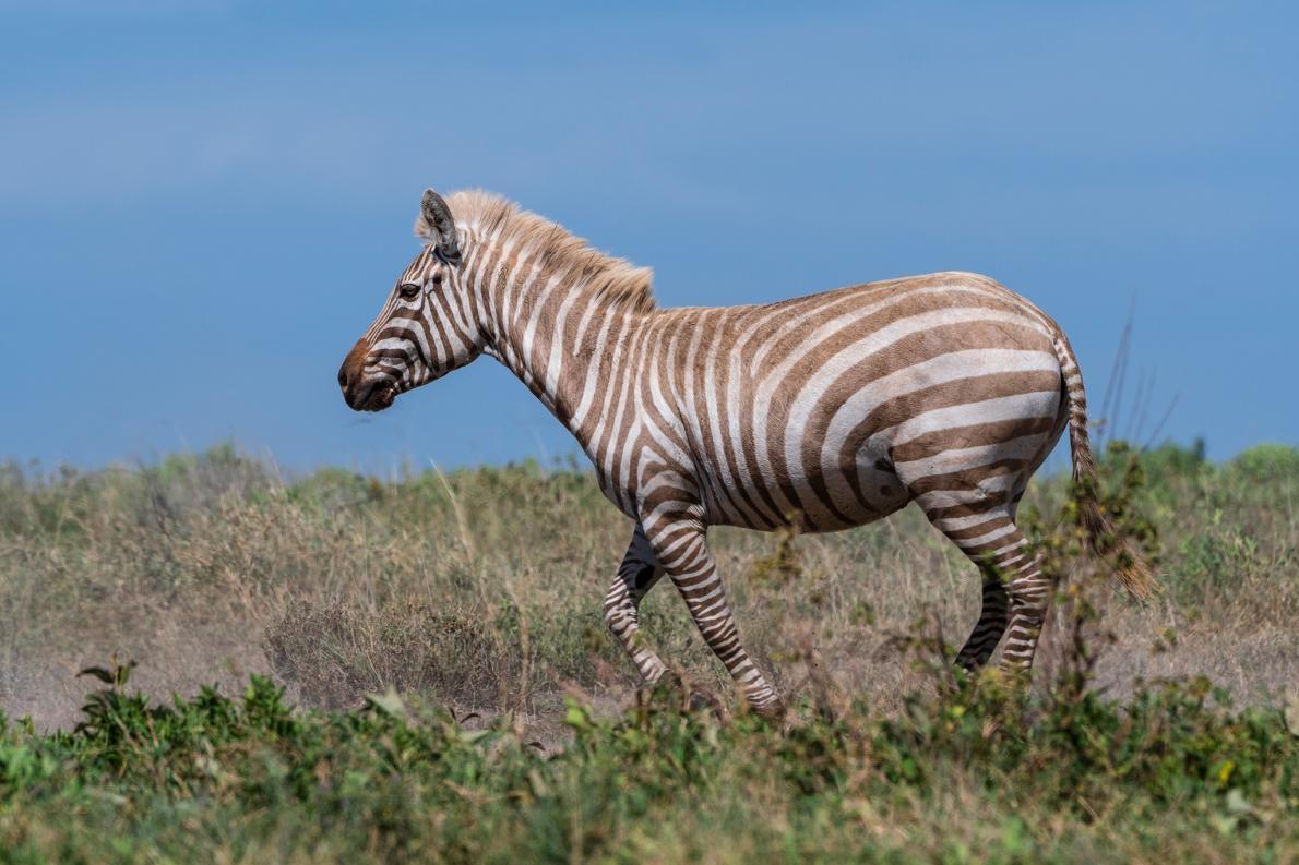 一隻患有局部白化症(partial albinism)的斑馬走過塞倫蓋提國家公園(Serengeti National Park)的一個峽谷。有少數白化斑馬被人類圈養,但這次的目擊確認了至少有一隻「金毛」斑馬生活在野外。 PHOTOGRAPH BY SERGIO PITAMITZ