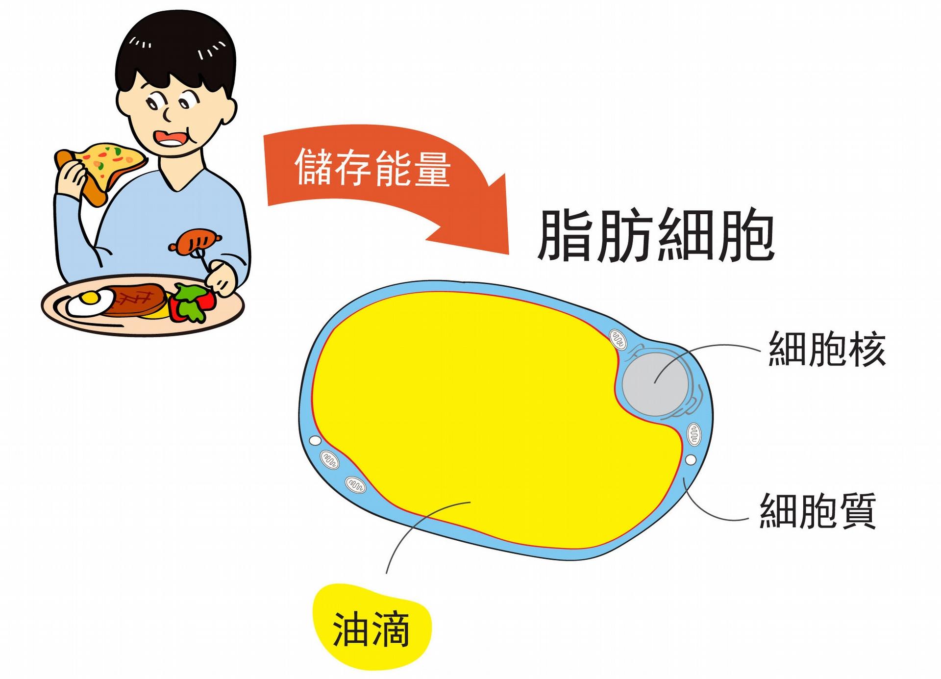 人們吃下去的食物,經過消化吸收後,將多出來的能量儲存在脂肪細胞裡的「油滴」。 圖說設計│王昭雯、林婷嫻、林洵安