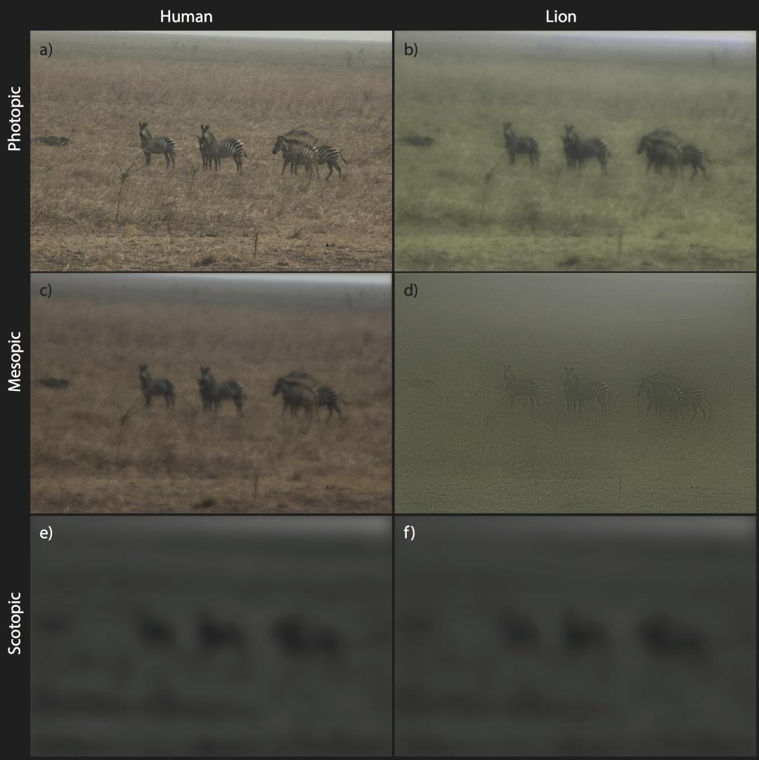 左邊一列是人類視角,右邊一列是獅子視角  |  Caro et al. 2016