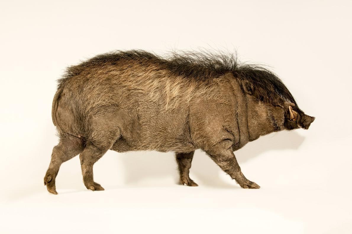 公捲毛野豬(Visayan warty pig)每年都會長出讓母豬難以抗拒的鬆軟鬃毛。PHOTOGRAPH BY JOEL SARTORE, NATIONAL GEOGRAPHIC PHOTO ARK