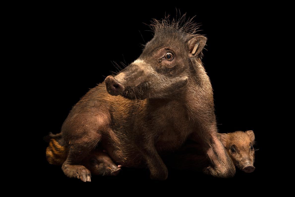 這是捲毛野豬的內格羅斯亞種。母豬一年會產下二到三隻豬崽。PHOTOGRAPH BY JOEL SARTORE, NATIONAL GEOGRAPHIC PHOTO ARK