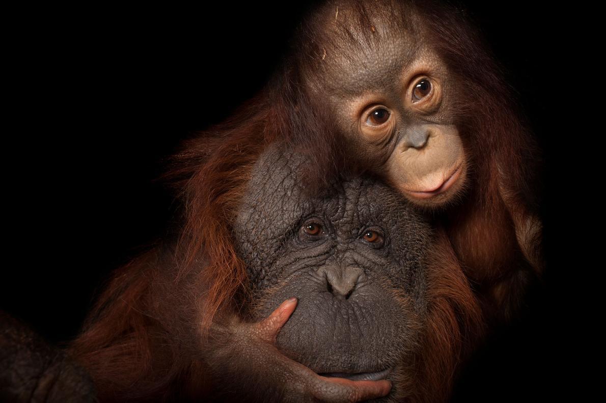 瀕危的婆羅洲紅毛猩猩(Bornean orangutan)寶寶和她的養母。PHOTOGRAPH BY JOEL SARTORE, NATIONAL GEOGRAPHIC PHOTO ARK